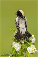 Bobolink look back pose