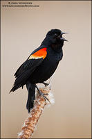 Red-winged Blackbird male calling from cattail