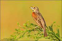 Dickcissel perched on weeds