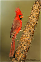 Northern Cardinal on cactus - profile view