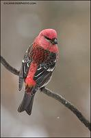 Pine Grosbeak male (#5778)