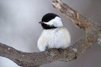 Black-Capped Chickadee fluffed up