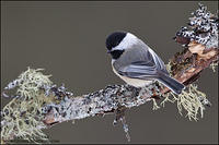 Black-capped Chickadee look back