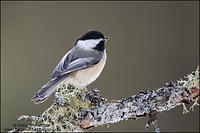 Black-capped Chickadee on lichen covered branch