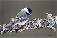 Black-capped Chickadee perched