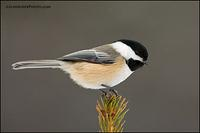 Black-Capped Chickadee (#6327)