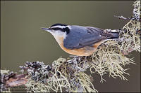 Red-Breasted Nuthatch perched