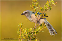 Florida Scrub Jay perched