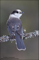 Gray Jay looking back while perched