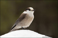 Gray Jay perched on a snowbank