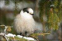 Gray Jay fluffed up (#5982)