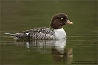 Barrow's Goldeneye hen on calm water