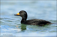 Black Scoter cresting a wave