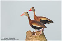 Black-bellied Whistling duck pair on palm tree