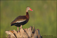 Black-bellied Whistling Duck perched on palm tree