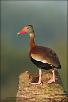 Black-bellied Whistling Duck on palm