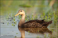 Mottled Duck (adult)