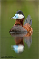 Ruddy Duck drake - alert pose