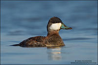 Ruddy Duck drake in basic plumage
