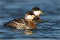 Ruddy Duck drake pair
