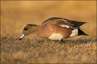 American Wigeon drake feeding on grass