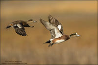 American Wigeon pair in flight