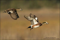 American Wigeon pair in flight (calling)