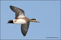 American Wigeon in flight (0480)