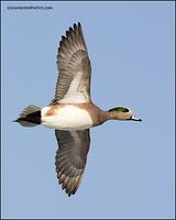 American Wigeon in flight (0482)