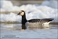 Barnacle Goose swimming among ice chunks