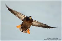 Black Duck flaring for landing