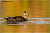 American Black Duck and fall colour