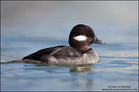 Female (hen) Bufflehead