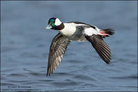 Bufflehead in flight #3