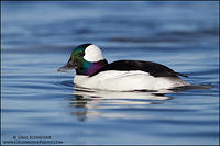 Bufflehead drake preparing to dive