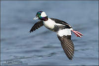 Bufflehead in flight #4
