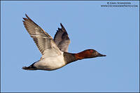 Canvasback drake in flight