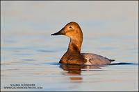 Canvasback Hen swimming headon