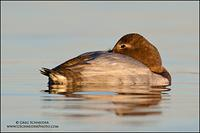 Canvasback (hen) sleeping