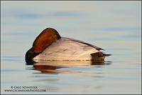 Canvasback drake - asleep