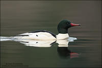 Common Merganser (#2)