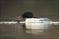 Common Merganser catching fish