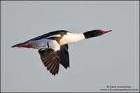 Common Merganser (drake) in flight