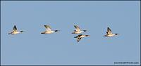 Common Merganser flock
