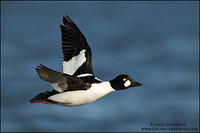 Common Goldeneye drake in flight against dark water