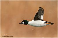 Common Goldeneye flying in flurries
