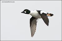 Common Goldeneye in flight (6967)