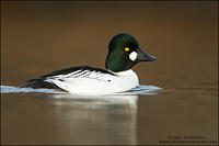 Common Goldeneye against dark background