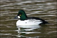 Common Goldeneye (2667)