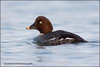 Common Goldeneye hen look back